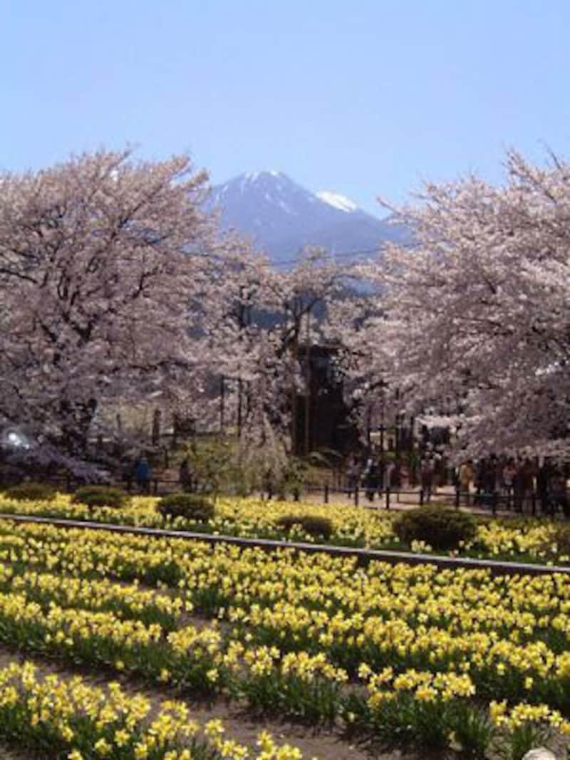 山高神代桜(4)