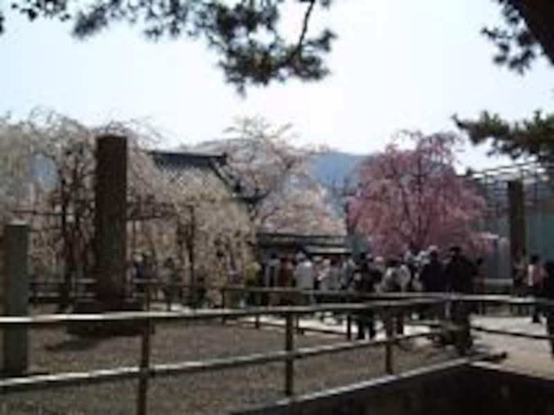 醍醐寺の桜(2)/総門前