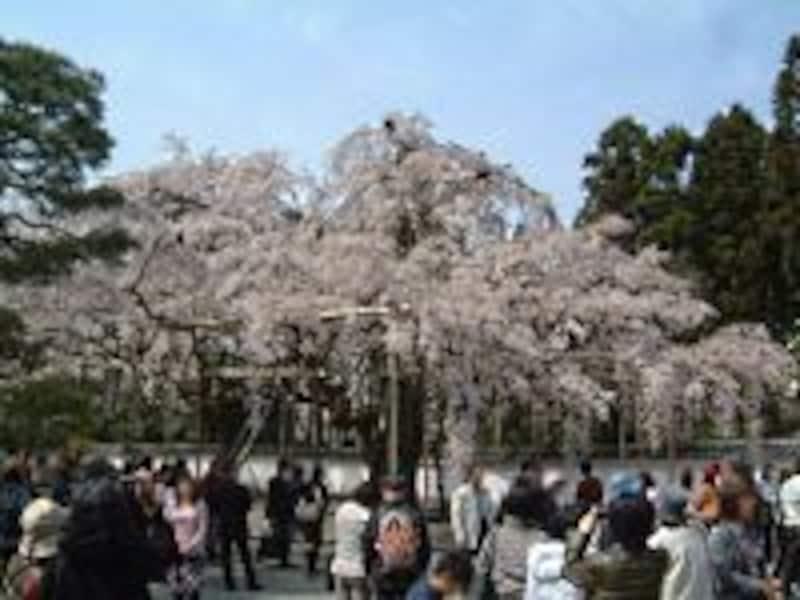 醍醐寺の桜(3)/三宝院