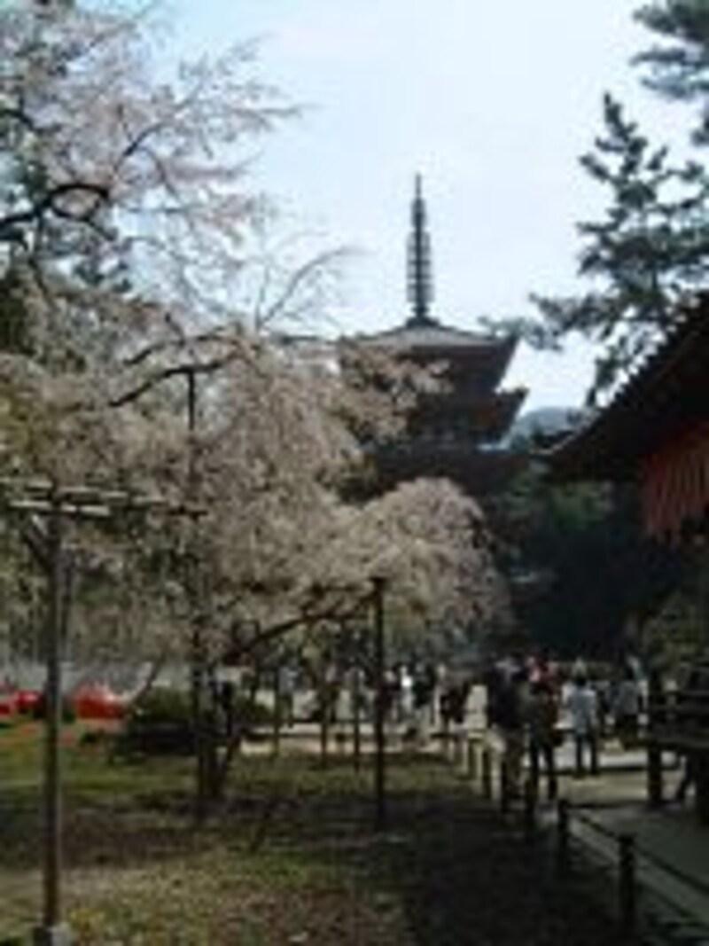 醍醐寺の桜(3)/五重塔と共に