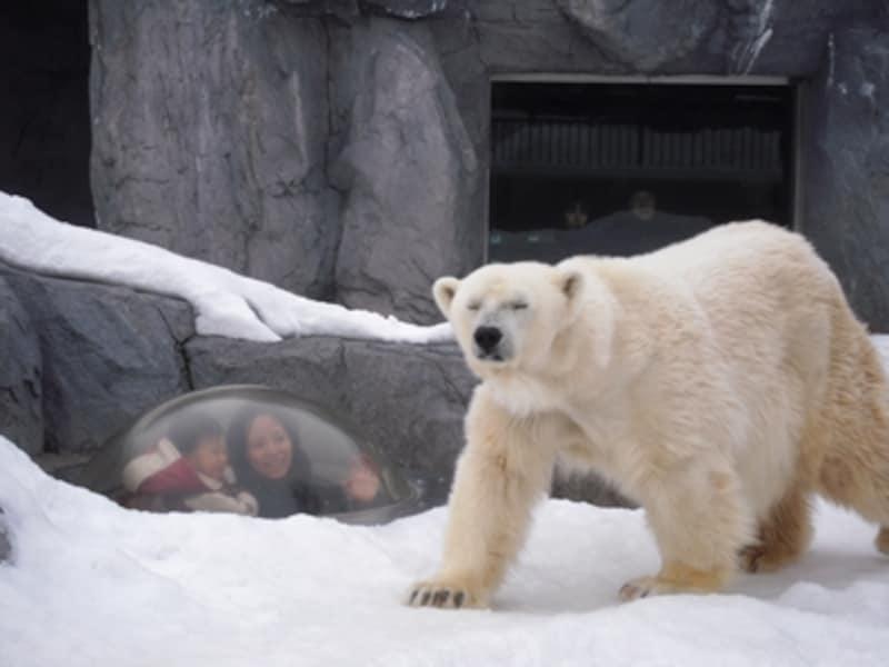 雪の上を歩くホッキョクグマの姿はサマになります。写真左に見える「シールズアイ」からなら、ノッシノッシと歩く様子をホッキョクグマの足元の目線で見ることができて迫力満点。ちょうど見たときに歩いてくれればラッキーです