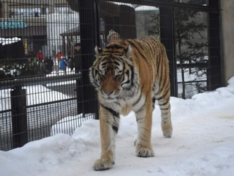 「もうじゅう館」にはトラ、ライオン、ヒョウ、クマがいます。冬に強いのが寒い地域がふるさとのアムールトラ。雪の中を元気よく歩き回っています