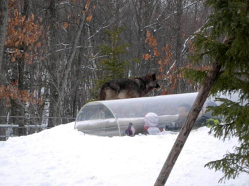 「オオカミの森」で、オオカミを間近に見られるのが「ヘアーズアイ」。ホッキョクグマと同じく、ちょうど入ったときにオオカミが近くに来てくれるとラッキーです。外に出てしばらく見ていると遠吠えを聞かせてくれることも