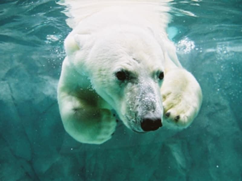 ホッキョクグマは夏も人気者。あの大きな体でプールに飛び込む姿は迫力満点です。暑いのが苦手なので、夏は気持ちよさそうに泳ぐ姿をよく見られるはず