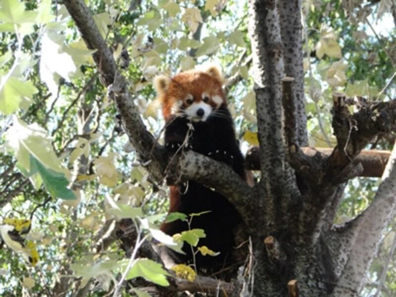 2007年にできた「レッサーパンダの吊り橋」も見どころです。レッサーパンダはもともと樹上生活者。レッサーパンダ舎の向かいにある木に吊り橋がかけてあり、その吊り橋を渡る姿や木の上で眠る様子を見ることができます