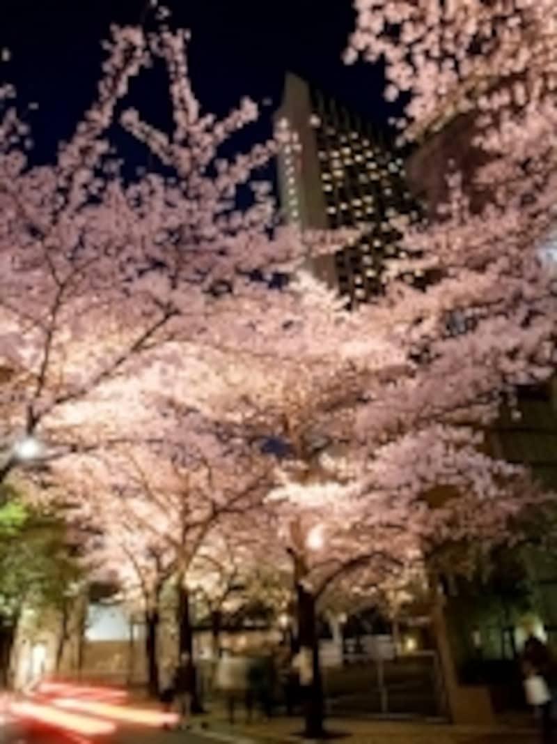 開花時期にあわせて桜並木のライトアップも