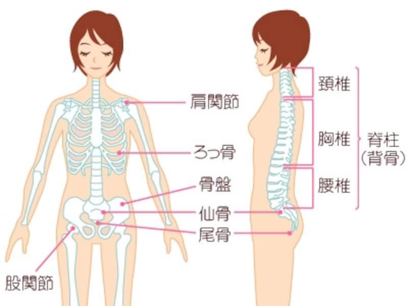 背骨(脊柱)と骨盤と股関節のつながり