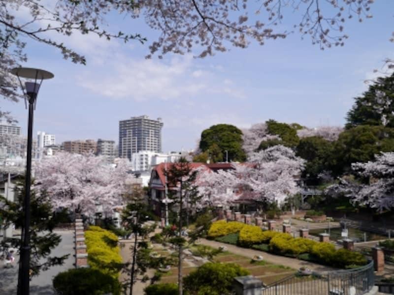 周りを囲むように咲く、元町公園のサクラ(2014年4月1日撮影)