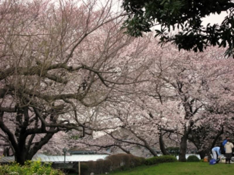 山手公園の小さな広場を囲むように咲くサクラ(2008年3月28日撮影)