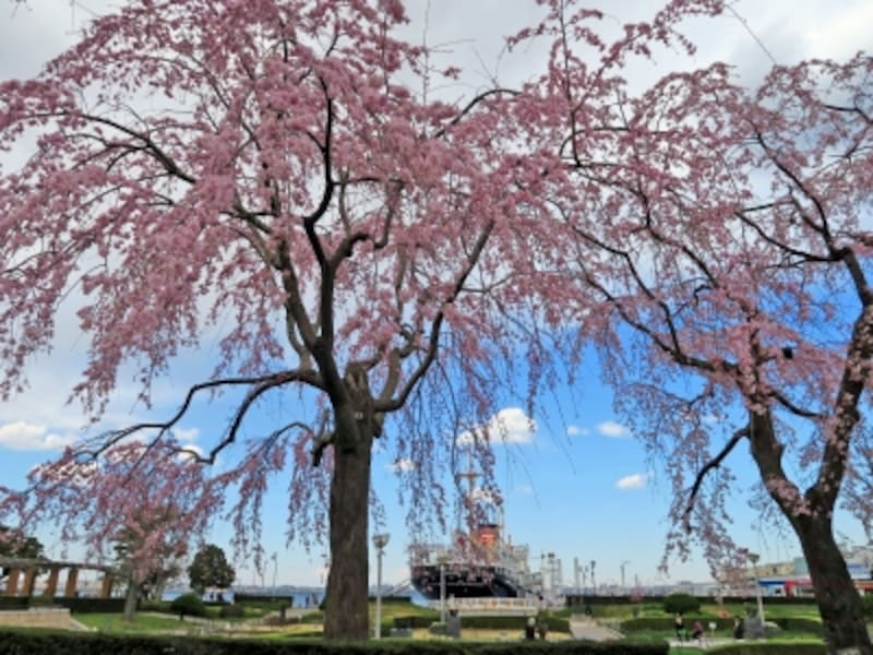 山下公園通り側に咲くシダレザクラ。氷川丸をバックに(2015年3月24日撮影)