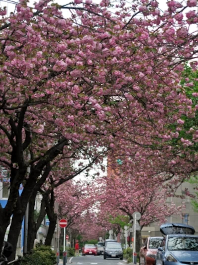 毎年4月下旬になると、ビジネス街にサクラのアーチが出現(2016年4月16日撮影)