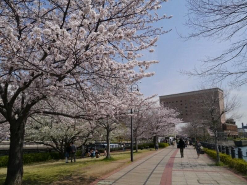 春の汽車道はサクラのアーチをくぐるよう(2014年4月1日撮影)