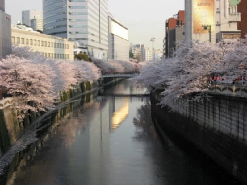 散り始めになると、大岡川の川面までピンク色に!(2008年4月3日撮影)