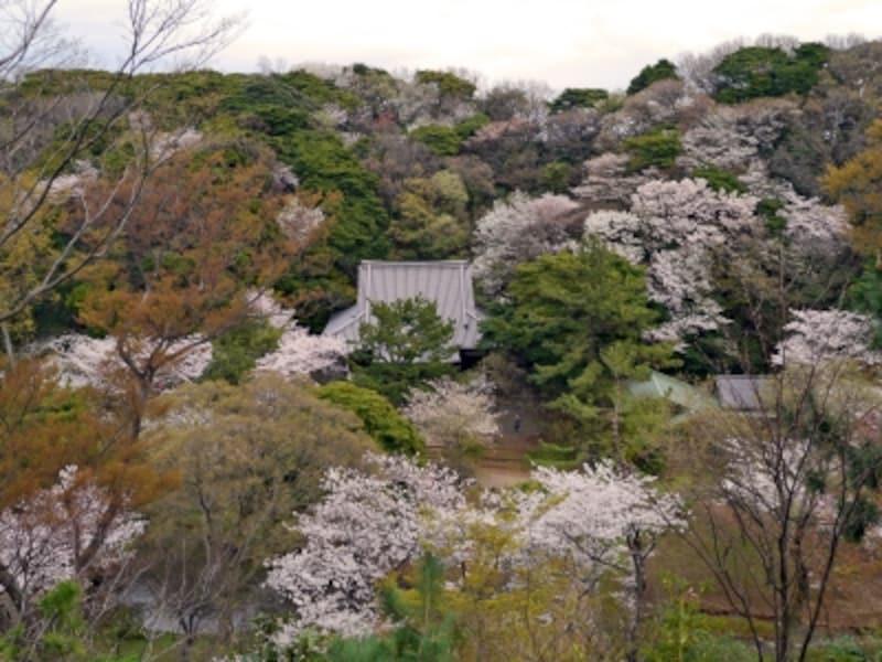 春は三溪園内が淡いピンク色に!undefined旧燈明寺三重塔よりのぞむ(2014年4月2日撮影)