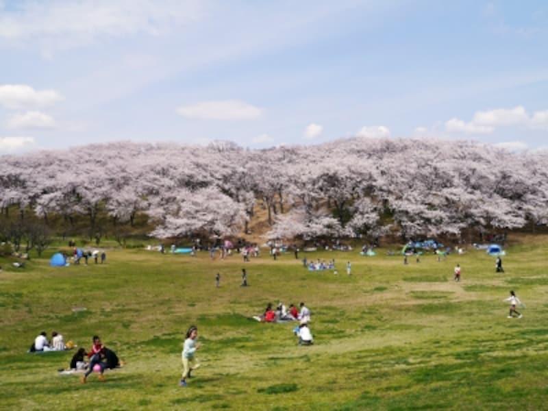 広い芝生でブルーシートを敷いてお花見が楽しめる、根岸森林公園(2014年4月2日撮影)
