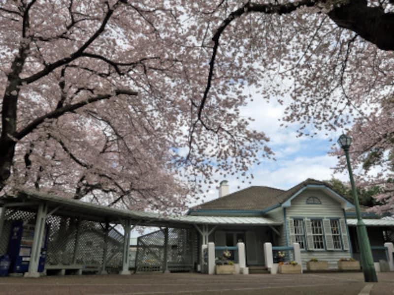 横浜ガイドのお気に入り、山手公園のサクラ。クラブハウスを覆うように見える枝ぶりが見事(2017年4月7日撮影)