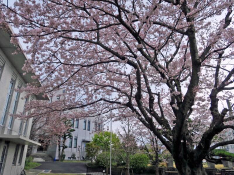 2014年からは標本木は横浜地方気象台の敷地内にある若いサクラに交代(2017年4月7日撮影)