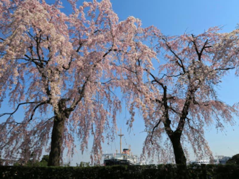 山下公園通り側に咲くシダレザクラ。氷川丸をバックに(2017年4月4日撮影)