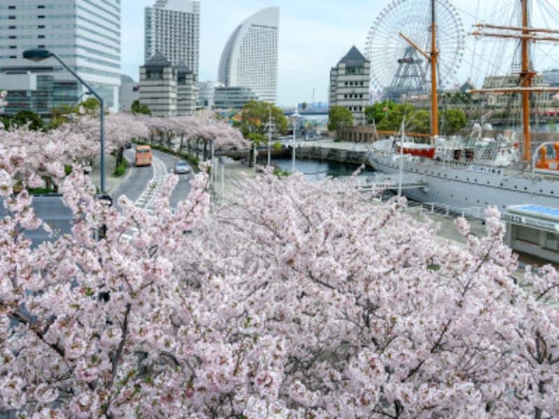 桜木町駅から海に向かって並ぶ、さくら通りの桜並木(2017年4月10日撮影)