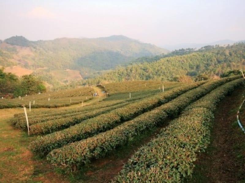 涼しい気候のメーサロンはお茶の産地として知られている(c)D-MARKMAGAZINE