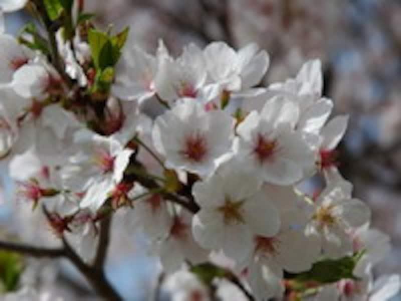 桜の季節、新たなスタート