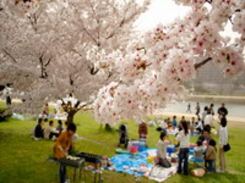 桜の下での宴会