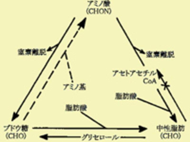 アミノ酸→ブドウ糖→中性脂肪