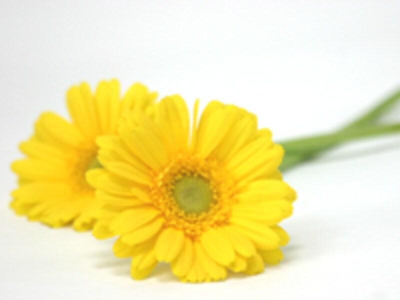 ガーベラ・黄色