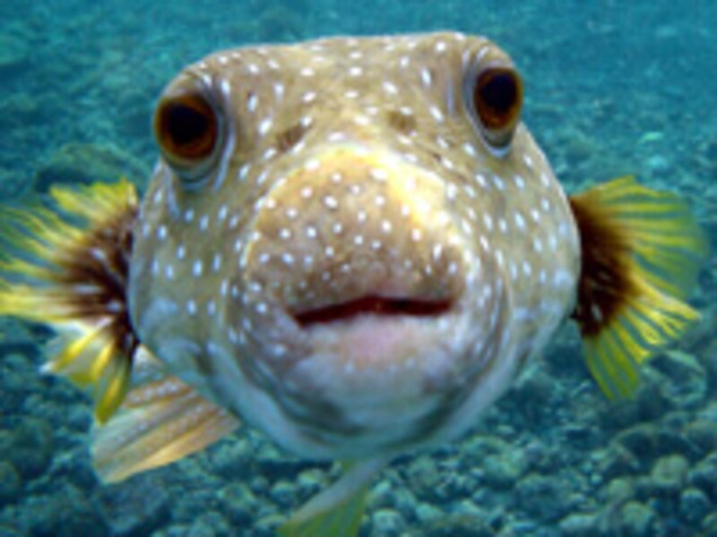 "puffer_fish"""