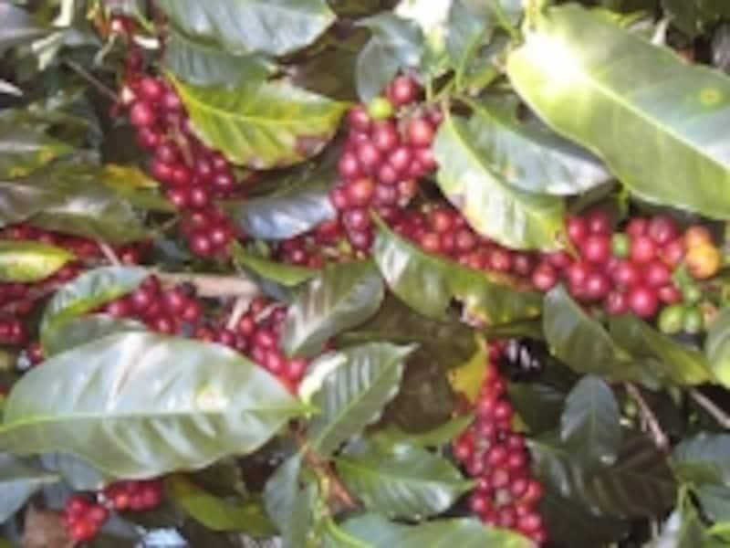 「ロンカフェ」は、メキシコ・ブラジル・グアテマラの有機コーヒー豆を使用しています。