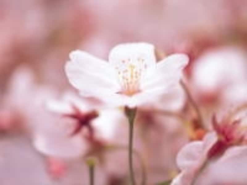 春は早起きして、花を見ながら散策でも