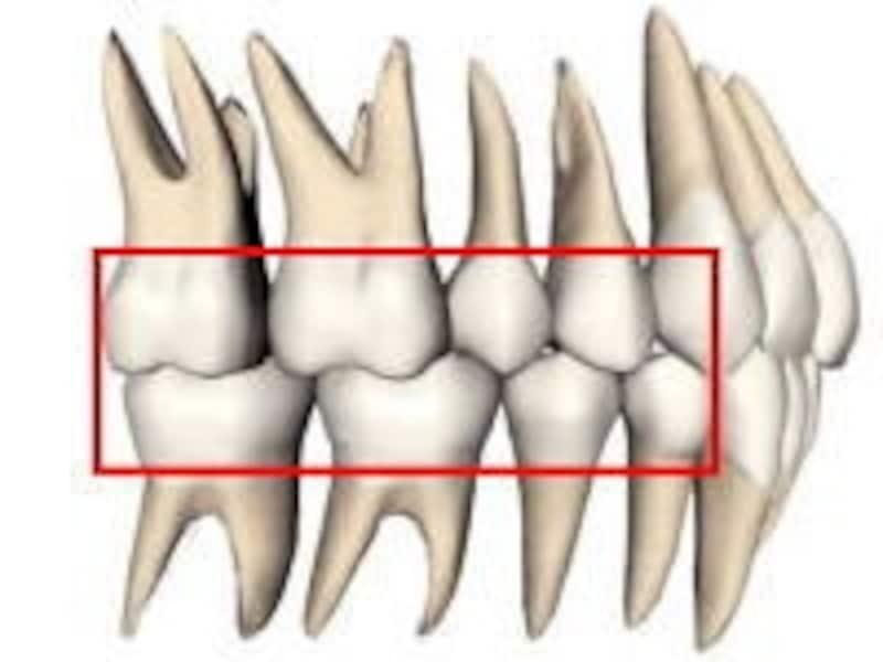 根の大きさを見て欲しい。いかに奥歯の歯が力を分散しているのかが分かる