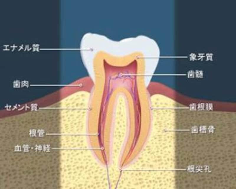 歯を知ることが虫歯予防の第一歩
