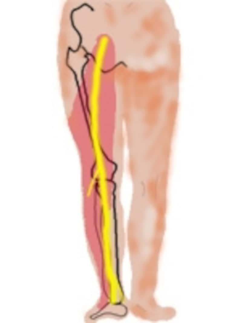 黄色は坐骨神経、ピンク色の範囲に坐骨神経痛の症状が出ます