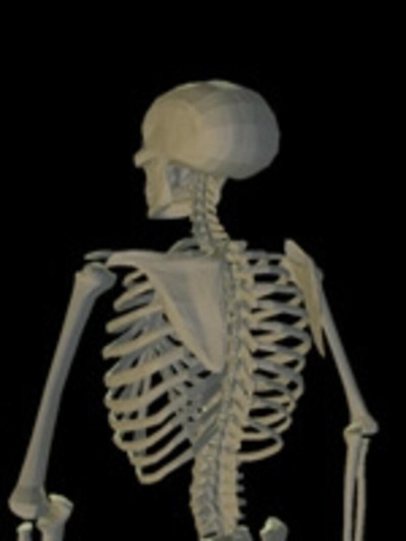 背中の筋肉は、肩こりや腰痛などでも影響を受けます