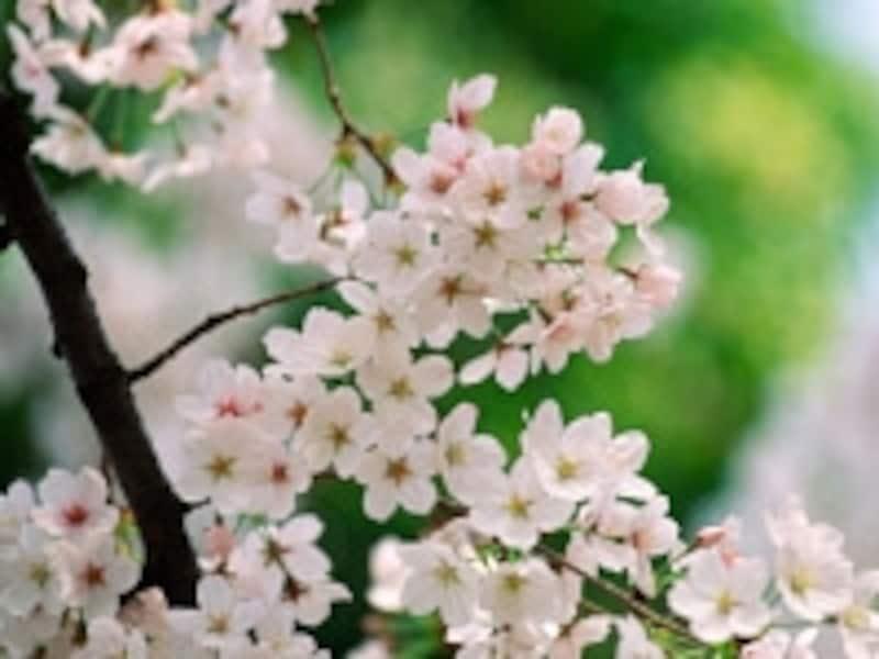 弥生、3月、春、桜。みんな幸せに、暮らしたいですね。
