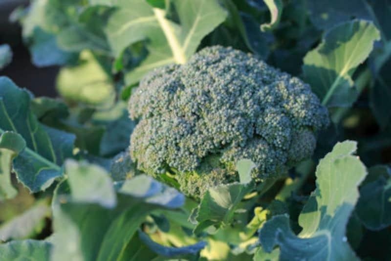 ブロッコリーの栽培・育て方
