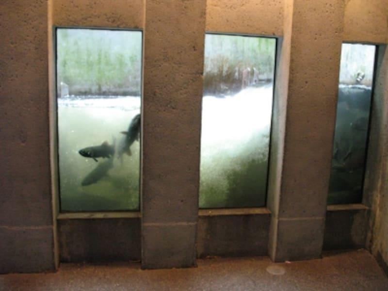 ガラス張りの魚道から、遡上するサーモンが見られる!画像内に見えるのはコーホー(銀鮭)で体長は60~70cm(C)BlueWorks