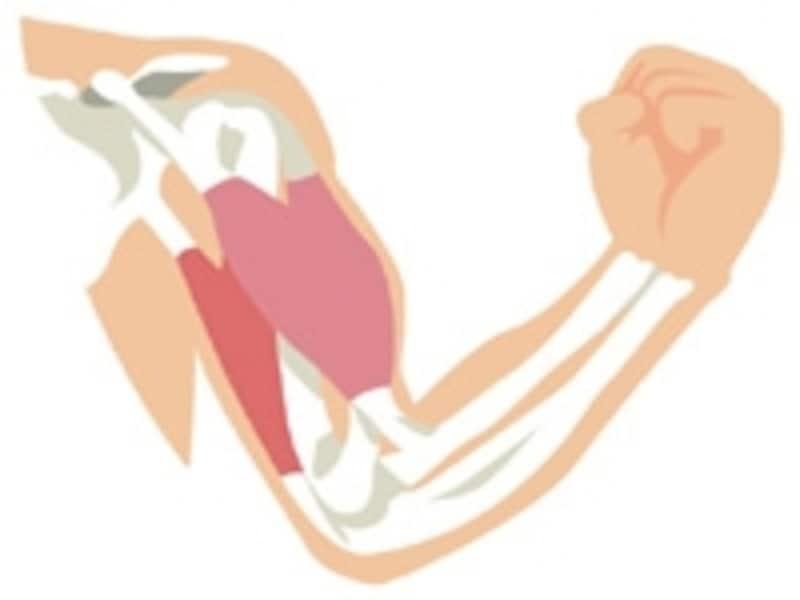 カッコイイ腕のラインを手に入れるためには筋肉のバランスが大切です