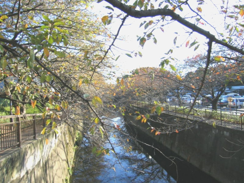 仙川沿いの桜並木