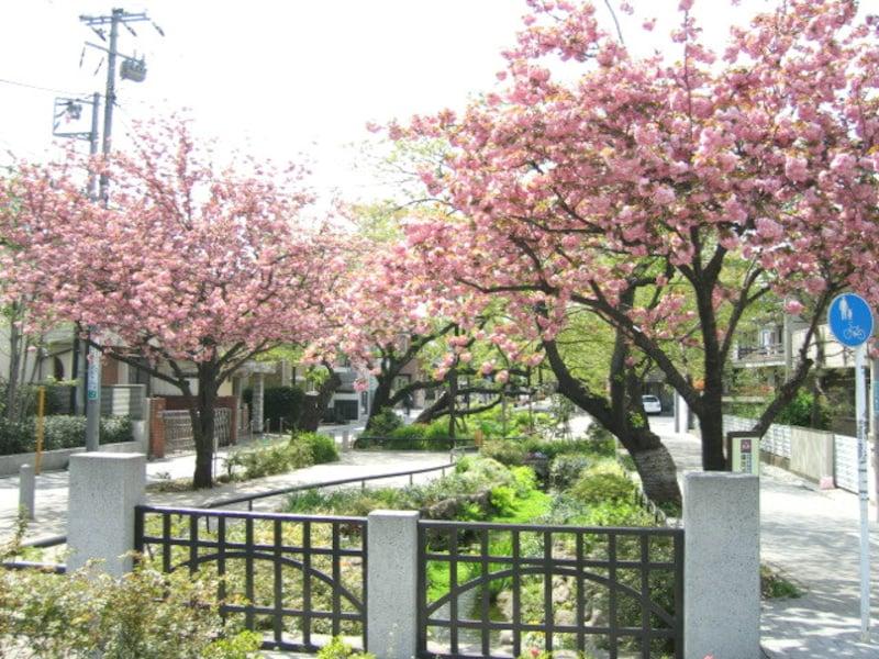 北沢川緑道の八重桜