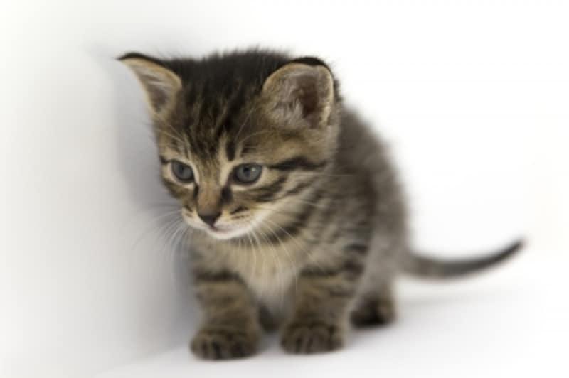キジ猫(黒ベースに、灰色やこげ茶の縞模様の毛並み)