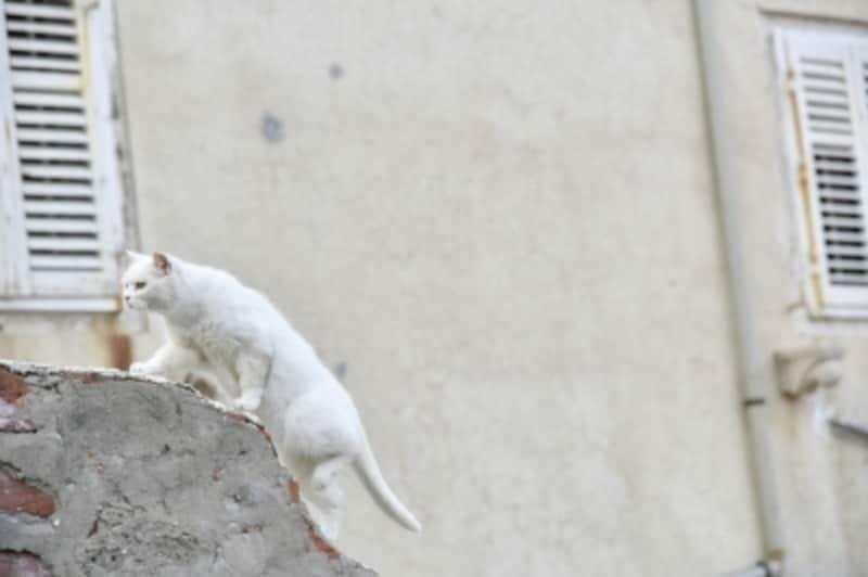 白猫は非常に頭が良く、気が強い子が多い