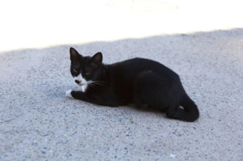 タキシードキャットとも言われる黒白猫