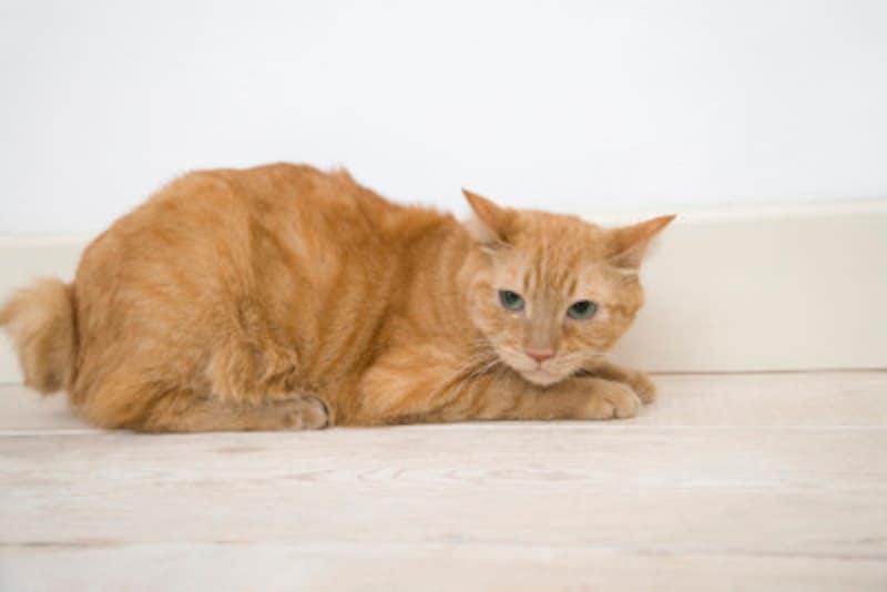 猫の発情期のメカニズムについて解説