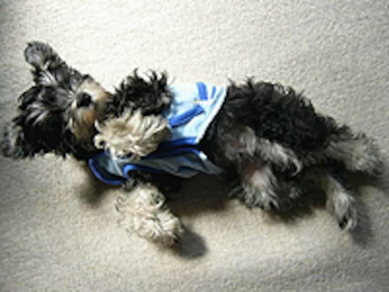 ミニチュア・シュナウザーの子犬