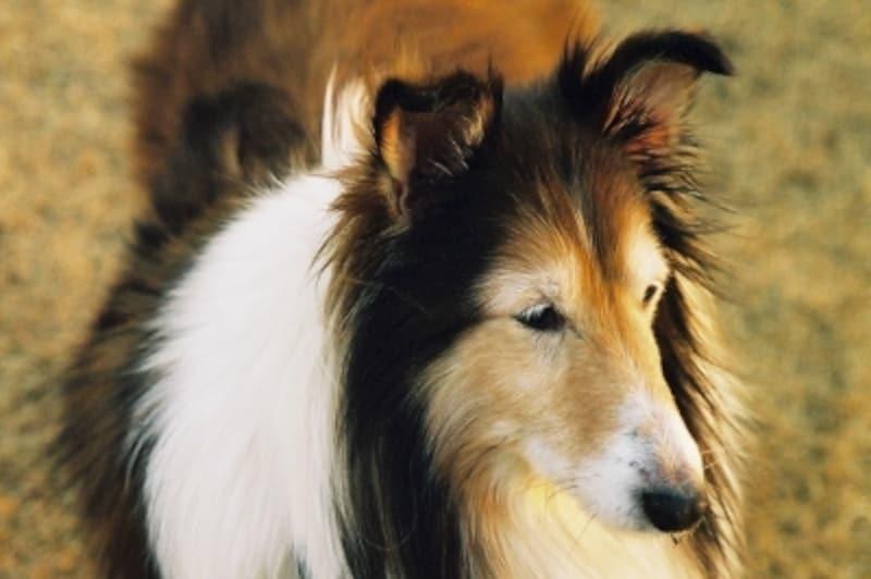 老犬:14歳のシェットランド・シープドッグ