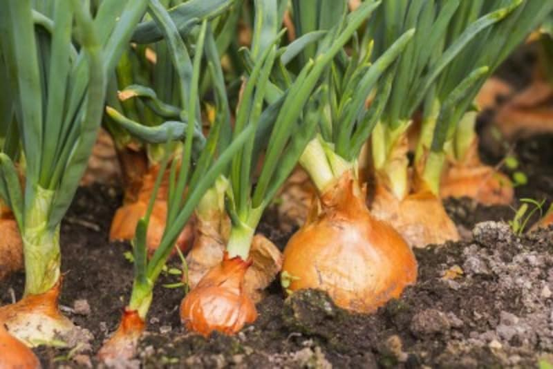 秋植え野菜(9月、10月に植える野菜)でおすすめなのは玉ねぎとイチゴ