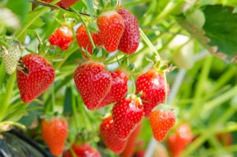 玉ねぎとイチゴは初心者にも育てやすい