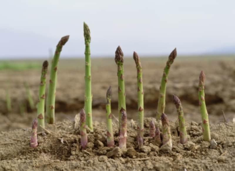 アスパラガスは病害虫の被害も少なく、手入れも簡単で、ガイドおすすめの作物です